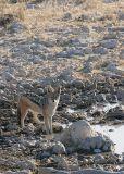Etosha - we saw this jackal at the waterhole.