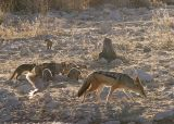 Etosha - I guess he didn't scare them too bad because they barely looked when he walked by.