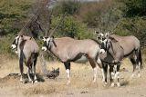 Etosha - Oryx (or Gemsbok)