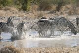 Etosha - Every time there are zebra together, there will be some horseplay!