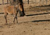 zebra/horse