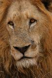 MM Sad looking lion