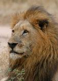 MM One of the Split Rock Male lions.  Styx Pride.