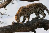 MalaMala leopard in tree