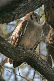 MM Giant Eagle Owl - the largest owl in the world