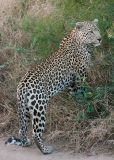 MM Leopard starting to climb the riverbank