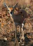 MM Not a great image but the best I have gotten of a steenbok