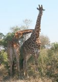 MM Giraffes necking. They are fighting. More info below.