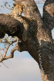 MM Very relaxed leopard in a tree.