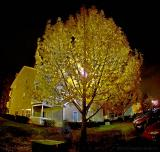 The Tree Outside My Apartment by Warren Sarle