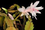 Xmas Cactus 09