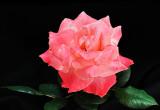 Grenada hybrid tea rose 01