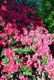 azaleas by greenhouse 01
