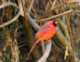 cardinal male 19