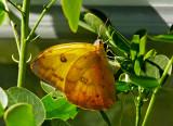 Orange-barred Sulphur 01