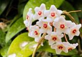 Hoya carnosa 13 rw1