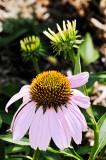 Echinacea purpurea 09