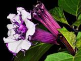 purple datura 04