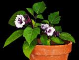 purple datura 05