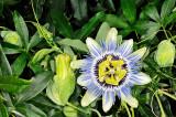 Passiflora caerulea 01