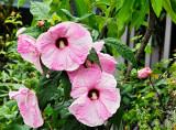 hibiscus Strawberries  Cream multple blooms