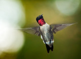 rubythroat hummingbird 77