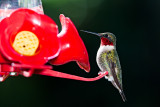 rubythroat hummingbird 78