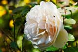 Damask rose Botzaris