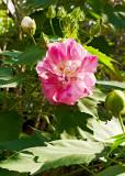 confederate rose 02