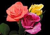 rose troika 01