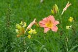 day lily orange pink 04