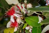 guava 11 rw