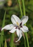 Acidanthera bicolor 01