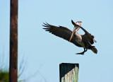 brown pelican landing 01