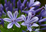agapanthus africans 14