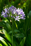agapanthus africans 18