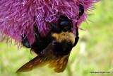 Bumblebee On Thistle