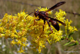 Wasp On Golden Rod