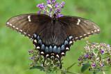 Black Swallowtail, Female