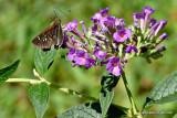 Skipper On Butterfly Bush