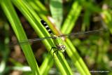 dragonflyP1010404.jpg