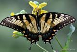 swallowtailIMG_1139-1.jpg