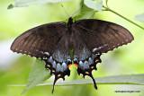 swallowtailIMG_1152-1.jpg