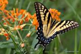 swallowtailIMG_1215-1.jpg