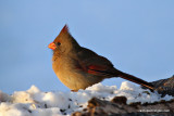 Northern Cardinal - Early Morning Sunshine