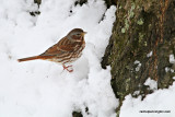 foxsparrowIMG_7032.jpg