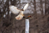 Red tailed hawks,  Whistle and they will come..................
