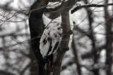 leucistic_red_tailed_hawk
