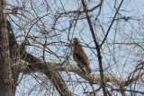 Immature red tailed hawk