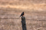 Robin on fence post.